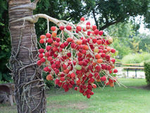 Fruits palm. Royalty Free Stock Photos