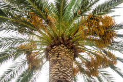 The fruits of palm trees on the promenade of Budva, Montenegro Royalty Free Stock Photography