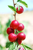 Fruits of plum tree Royalty Free Stock Photo