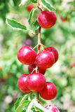 Fruits of plum tree Stock Image