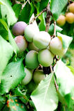 Fruits of plum tree. Excellent fruits of plum tree Royalty Free Stock Images