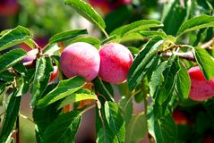 Fruits of plum tree. Excellent fruits of plum tree Stock Images