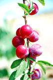 Fruits of plum tree Stock Photo