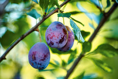 Fruits of plum tree. In garden Royalty Free Stock Image