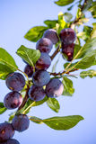 Fruits of plum tree. In garden Stock Photos