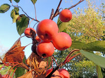 Fruits of plumleaf crab apple Royalty Free Stock Photography