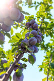 The fruits of plums on the tree. In the sun in the summer Royalty Free Stock Images