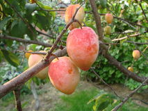 Fruits of Poles. Fruits of ripe Poles on a tree Royalty Free Stock Photography