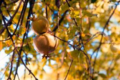 Fruits in the pomegranate tree, shallow depth of field Royalty Free Stock Photos