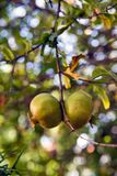 Fruits in the pomegranate tree, shallow depth of field Royalty Free Stock Photography
