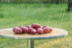 The fruits of potatoes and summer rain. Stock Photo