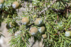 Fruits of prickly juniper, Juniperus oxycedrus Stock Photography