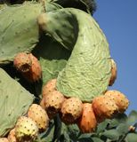 Fruits prickly pear. Cactus Indian Stock Image