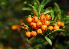 Fruits of pyracantha coccinea. In garden stock photo