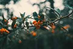 Fruits of pyracantha coccinea. Orange fruits of pyracantha coccinea stock photo