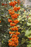 Fruits of pyracantha coccinea. Shrub Garden, Pyracantha, is a shrub with high resistance to low temperatures, very decorative autumn and winter by its orange Stock Images