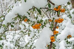 Fruits of pyracantha Royalty Free Stock Photos