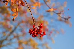 Fruits of red berries. Red fruits of red berries are part of beautiful colored autumn royalty free stock photography