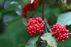 Fruits of a red elderberry Stock Image