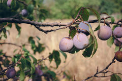 Fruits of red plum on a branch among summer leaves Royalty Free Stock Photos