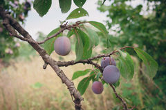 Fruits of red plum on a branch among summer leaves Stock Image