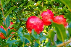 Fruits of red pomegranates Stock Photography