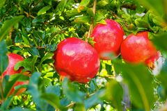 Fruits of red pomegranates Royalty Free Stock Photography