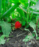 Fruits of a red strawberry Stock Images