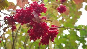 Fruits red viburnum tree fall on a yellow green background nature stock footage
