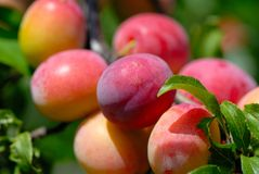 Fruits ripe plums Stock Photo