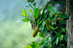Fruits ripen Stock Photography
