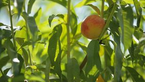 The Fruits Ripen Peaches stock footage