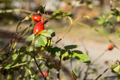Fruits of Rosa canina (dog-rose) Royalty Free Stock Photo