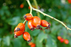 Fruits of rose hip Stock Photo