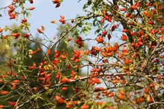 Fruits on rose hip bush stock photo