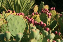Fruits roses des cactus Photo stock
