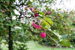 Fruits roses sur l'arbre Photographie stock libre de droits