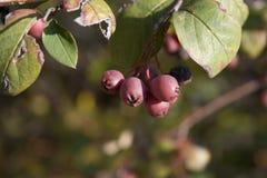 Fruits rouges Image stock