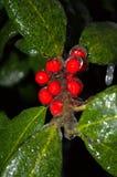 Fruits rouges et feuilles de plan rapproché spectaculaire dans le revêtement de glace Photos stock