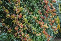 Fruits rouges, jaunes et verts d'umbellata d'Elaeagnus sur un fond de feuillage vert des sempervirens d'un Buxus de bushboxwood s photo libre de droits