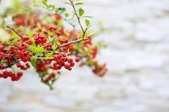 Fruits rouges lumineux du ` s de firethorn de Formose image stock