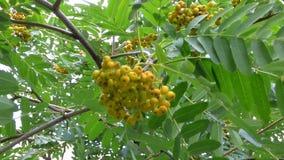 Fruits Rowan amongst foliage stock footage