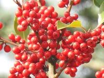 The fruits of the rowan of birds. Beautiful grape rowan fruit birds close up Royalty Free Stock Photo