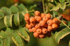 Fruits of rowan on tree royalty free stock photography