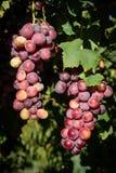 Fruits sains rouges de raisin images stock