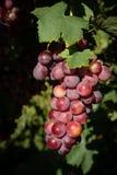 Fruits sains rouges de raisin photographie stock