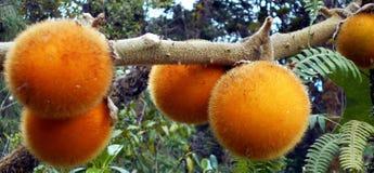 Fruits sauvages juteux photos libres de droits