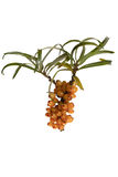 Fruits of sea buckthorn, Latin. Hippophae Royalty Free Stock Photography
