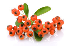 Fruits of Sea Buckthorn Royalty Free Stock Image