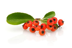 Fruits of Sea Buckthorn Royalty Free Stock Images